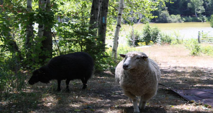 sheep-900x480