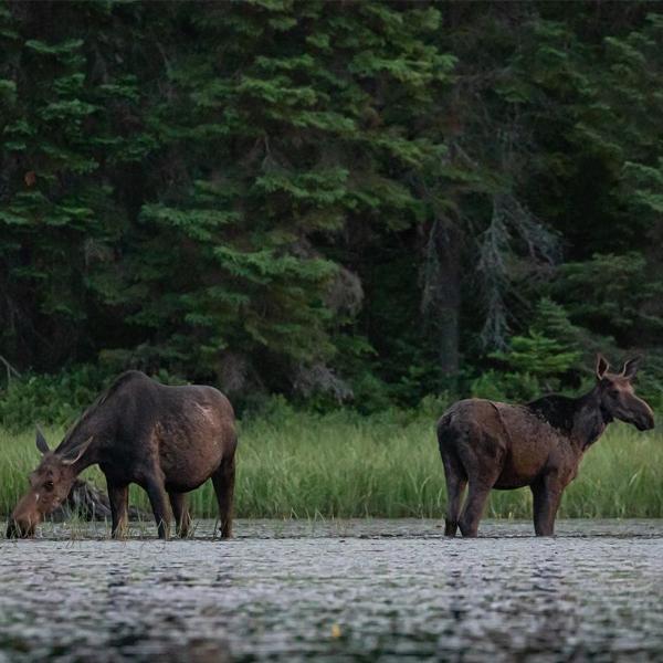 Two moose in Algonquin Park